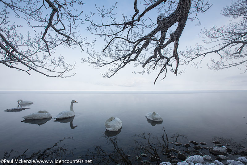 Whopper Swans on lake at dawn, Lake Kussharo, Japan; Canon 5D MK3, Canon 16-35mm f2.8L 2 lens @16mm, handheld, 1/200th sec, f13, ISO400, manual exposure