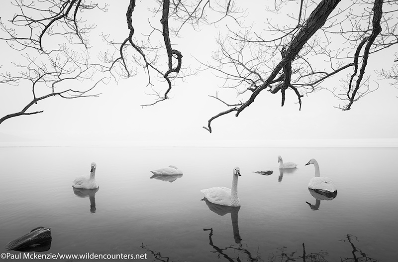 3a Whopper Swans at dawn on frozen lake opening under overhanging branches, Lake Kussharo, Hokkaido, Japan_74A7770 {J}