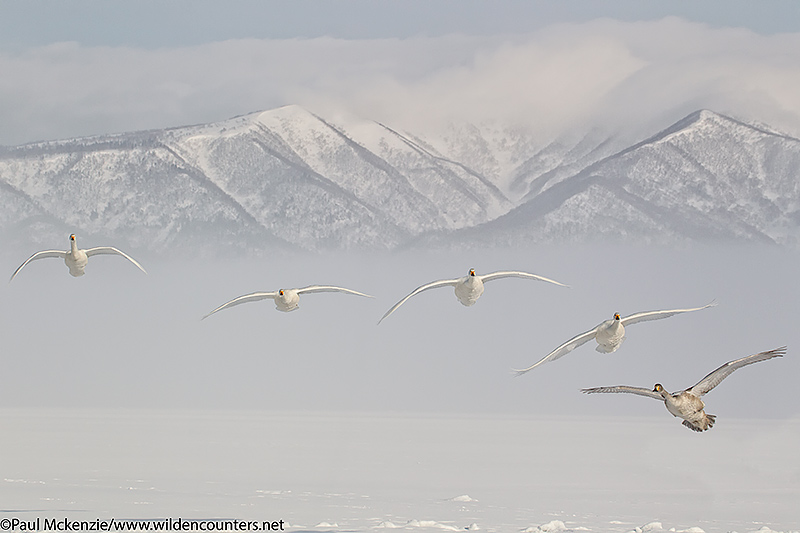 4. Whooper Swans flying into land on frozen lake, Lake Kussharo, Japan