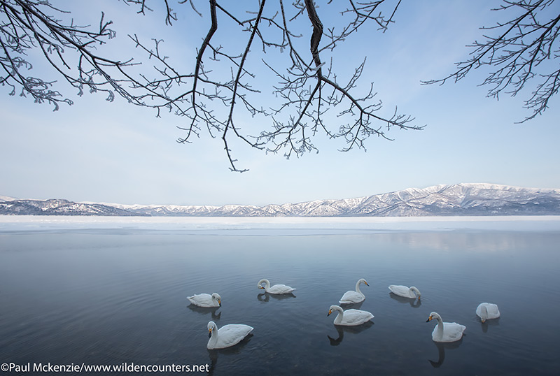 4a Whooper Swans at dawn in winter on lake under tree branches, Lake Kussharo, Hokkaido, Japan