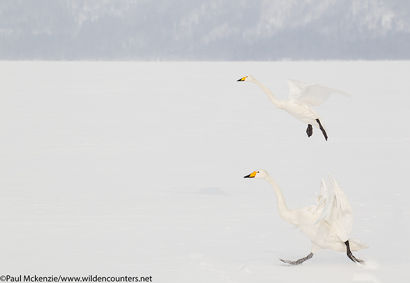 5. Two Whooper Swans landing on frozen lake, Lake Kussharo, Hokkaido, Japan