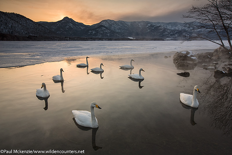 5a Whooper Swans on frozen lake opening at sunset, Lake Kussharo, Hokkaido, Japan