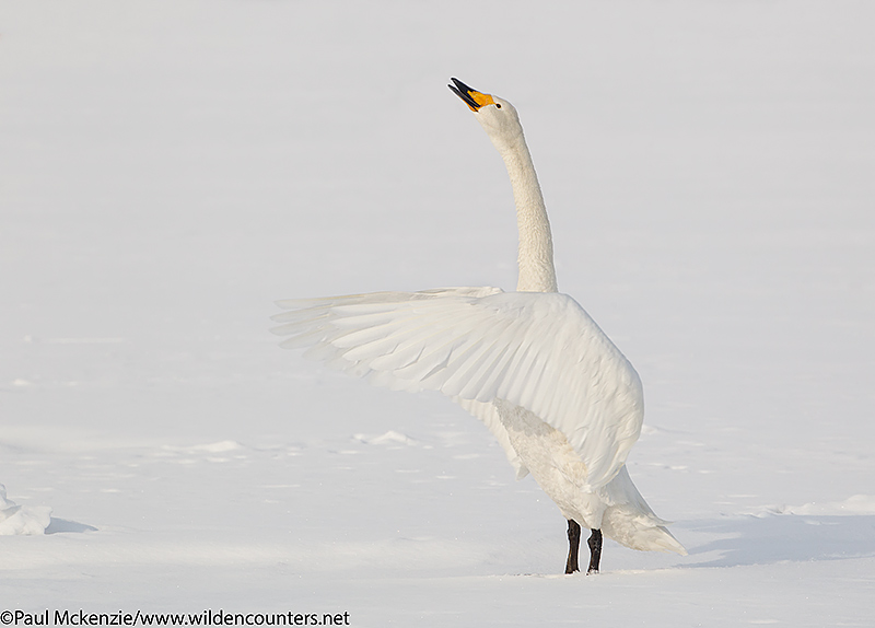 6. Whooper Swan standing on frozen lake ice, calling