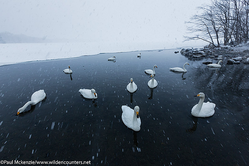 6a Whooper Swans on frozen lake opening during snow storm, Lake Kussharo, Hokkaido, Japan