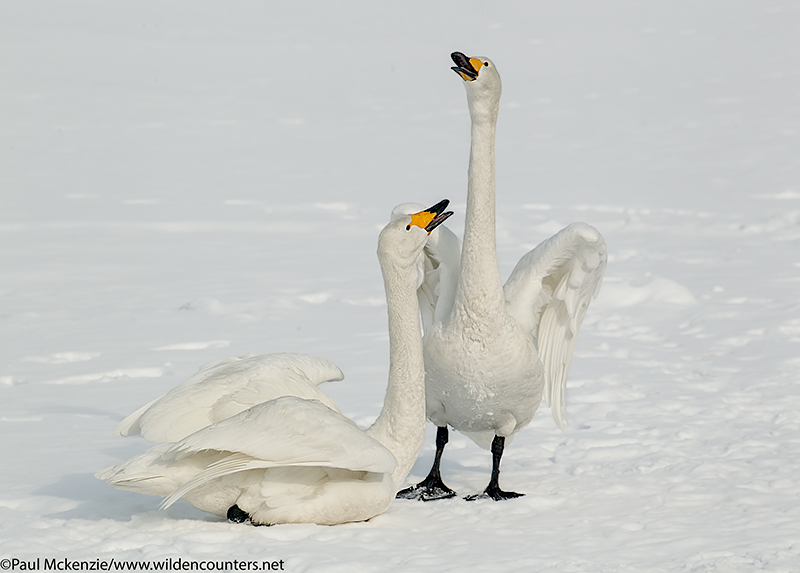 7. Two Whooper Swans on frozen lake, calling, Lake Kussharo, Hokkaido, Japan_P3I5817 {J}