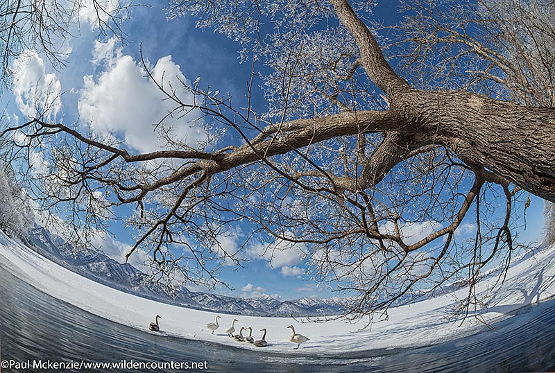7a Whopper Swans on frozen ice with overhanging, frost-covered tree branch over lake opening in foreground, Lake Kussharo, Hokkaido, Japan