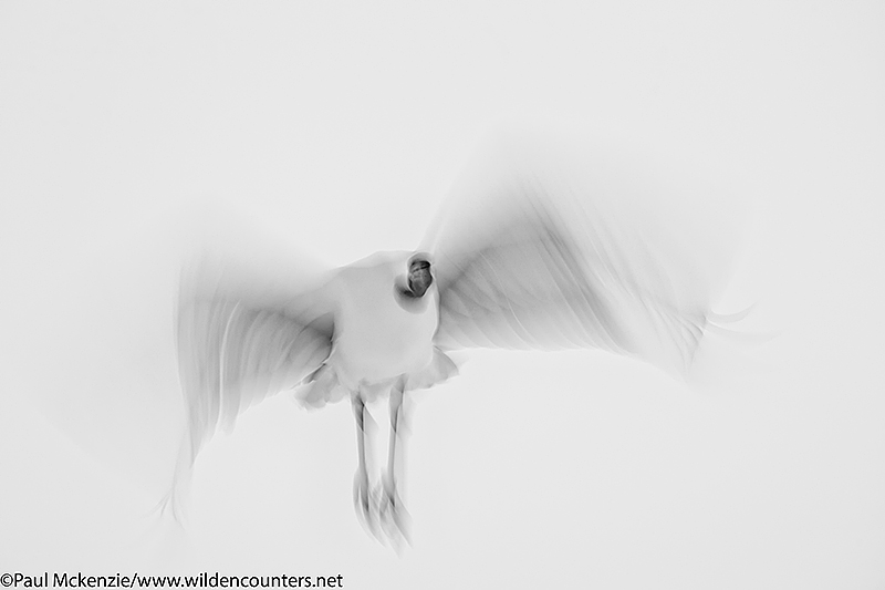 Monochrome image of Red Crowned Crane flying blur, Hokkaido, Japan