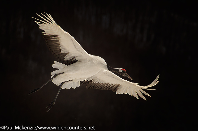 selection Red Crowned Crane coming in to land against dark forest, Hokkaido, Japan_P3I9265 {J}