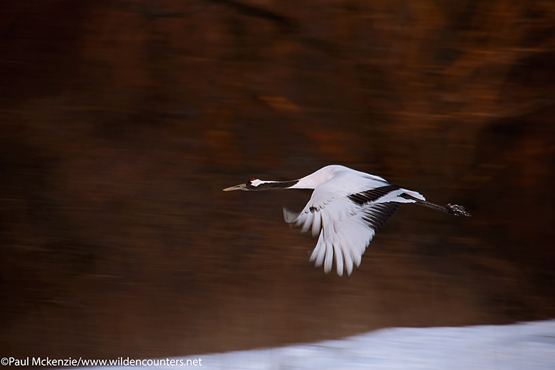 with selection Red Crowned Crane, flying over snow and past forest, with motion, Hokkaido, Japan_74A8133 {J}