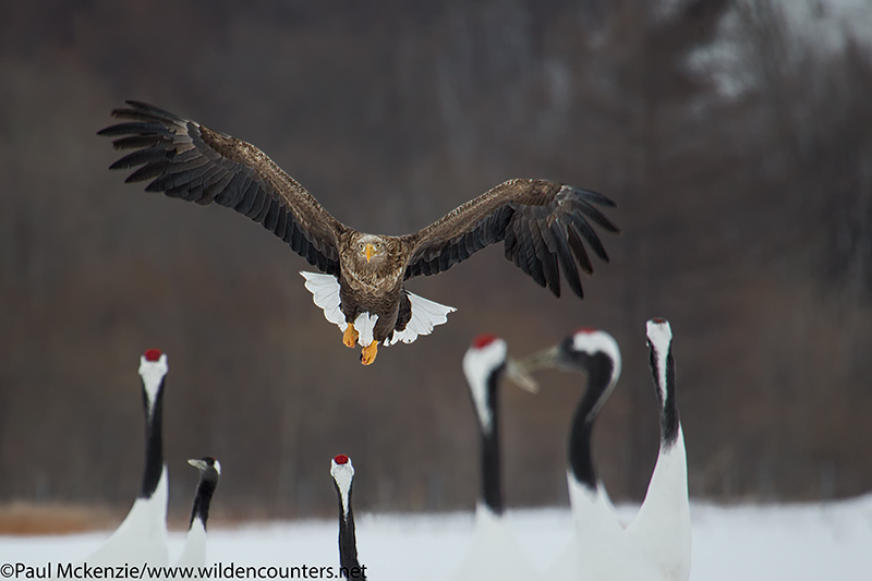 with selection White-Tailed Eagle flying towards Red Crowned Cranes, Eastern Hokkaido, Japan