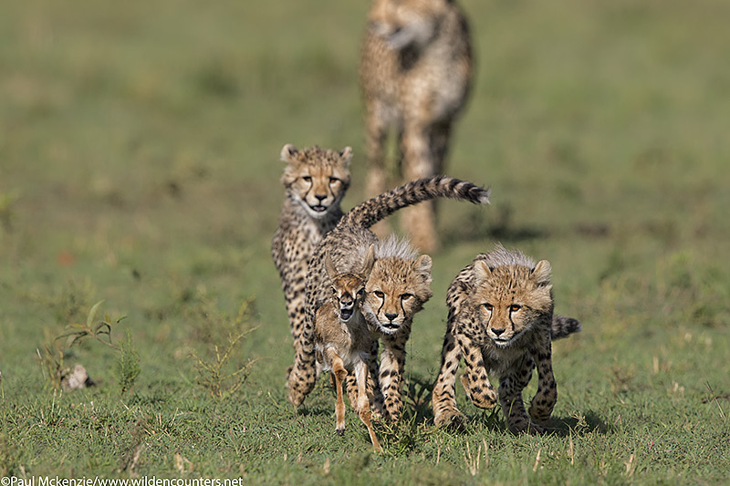 1Cheetah cubs chasing Thomson's Gazelle fawn with mother Cheetah in the background, Masai Mara, Kenya_P3I7834 {J}