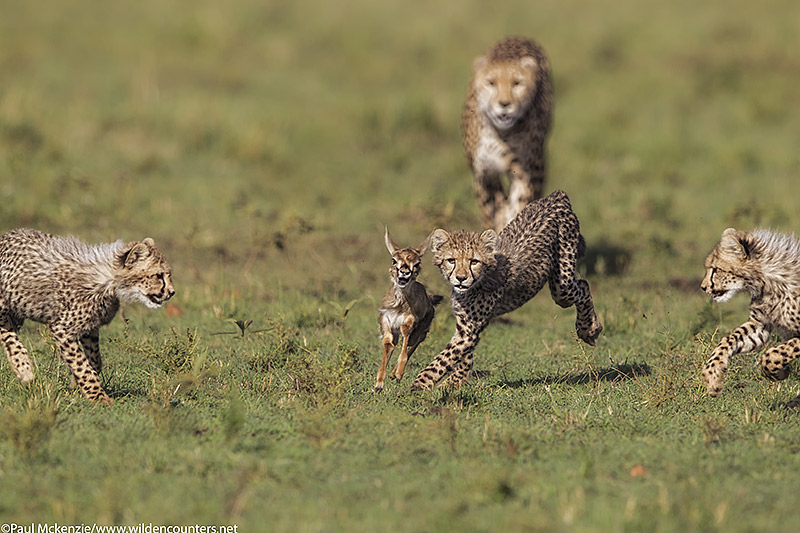 3Cheetah cubs, watched by their mother, chase after Thomson's Gazelle fawn, Masai Mara, Kenya