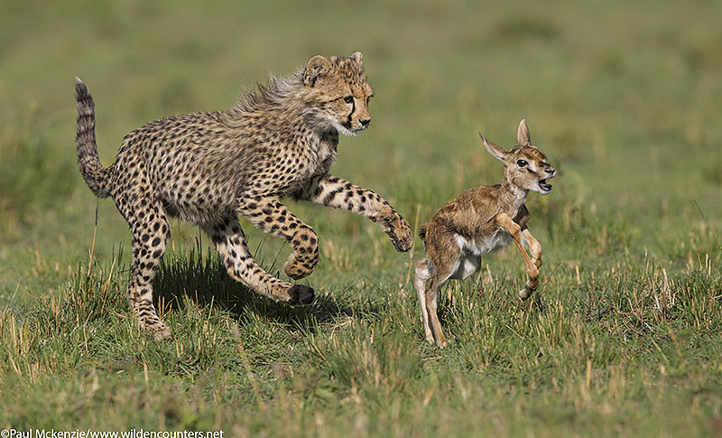 4with selection Cheetah cub chasing Thomson's Gazelle fawn, Masai Mara, Kenya_P3I7943 {J}