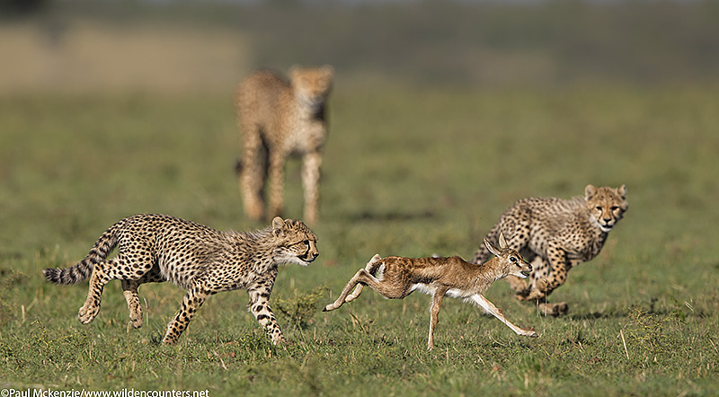5Cheetah cubs chasing Thomson's Gazelle fawn as mother cheetah looks on, Masai Mara, Kenya_P3I7931 {J}