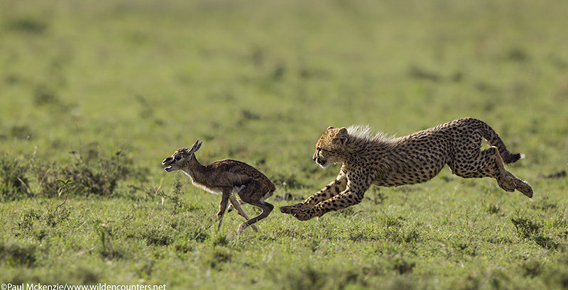 6with selection Cheetah cub chasing Thomson's Gazelle fawn, Masai Mara, Kenya #2