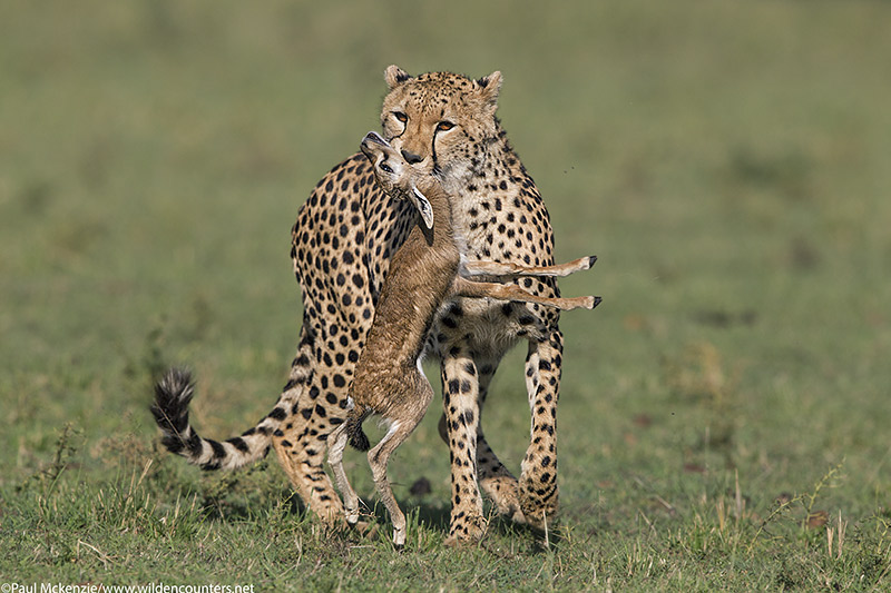 7with selection Adult female Cheetah carrying Thomson's Gazelle Kill, Masai Mara, Kenya_P3I7984 {J}