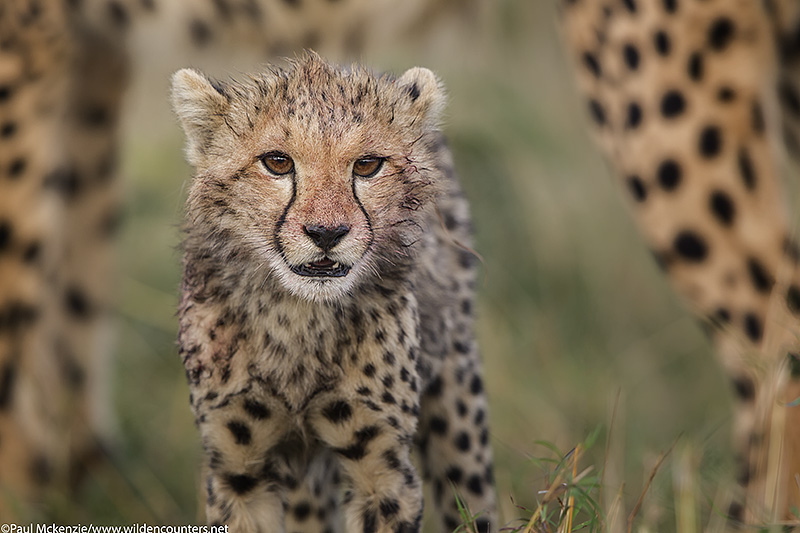 Cheetah cub with bloody face, framed between adult Cheetah's lags, Masai Mara, Kenya