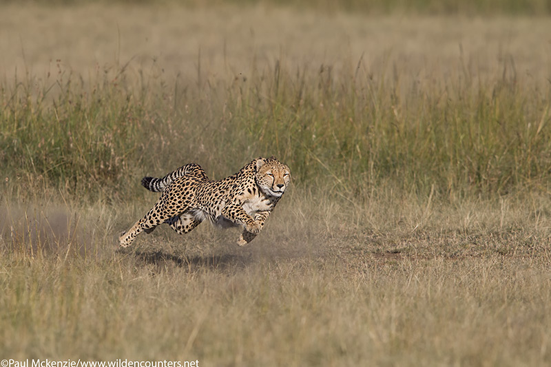 with selection Adult female Cheetah running at top speed, Masai Mara, Kenya_P3I2118 {J}