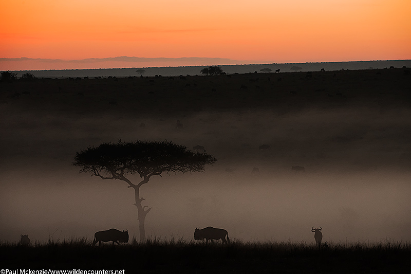 1. Wildebeest at dawn in the mist, Masai Mara, Kenya
