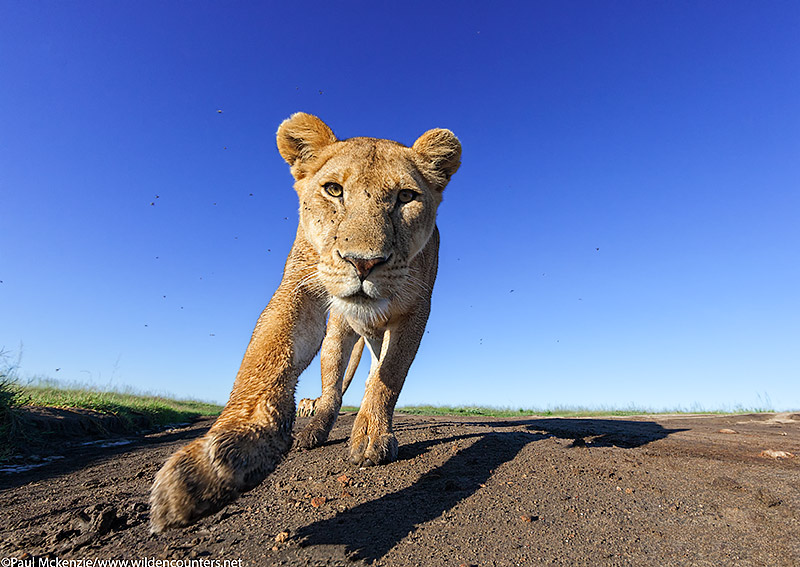 10. Lioness walking, head on, close-focus, wide-angle, Serengeti, Tanzania