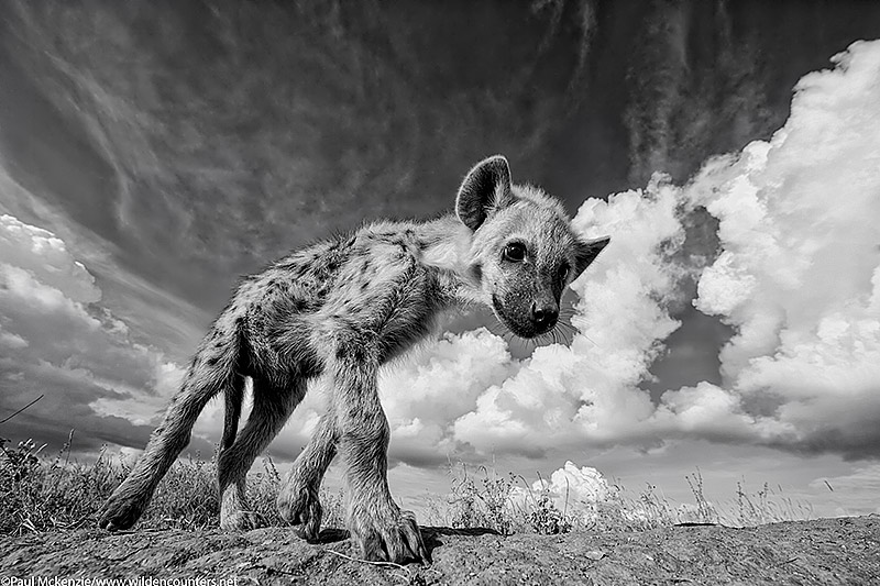 12. Juvenile Spotted Hyena, close-focus, wide-angle, Serengeti, Tanzania