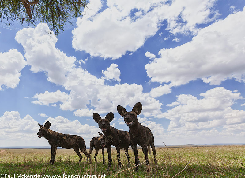 13. Wild dogs, close-focus, wide-angle, Masai Mara, Kenya
