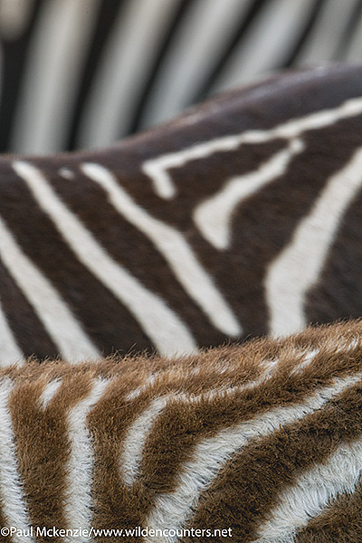 2 Zebra patterns, abstract, Serengeti, Tanzania