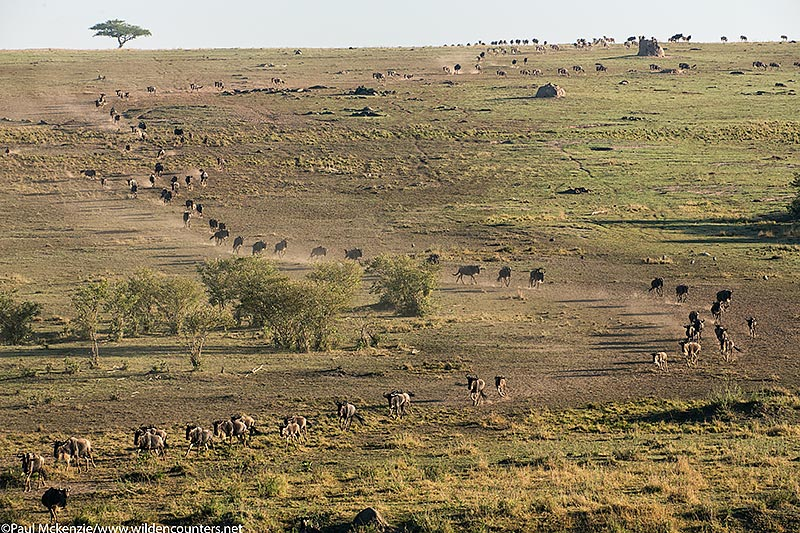 2. Migrating Wildebeest in S shape curve, Masai Mara, Kenya