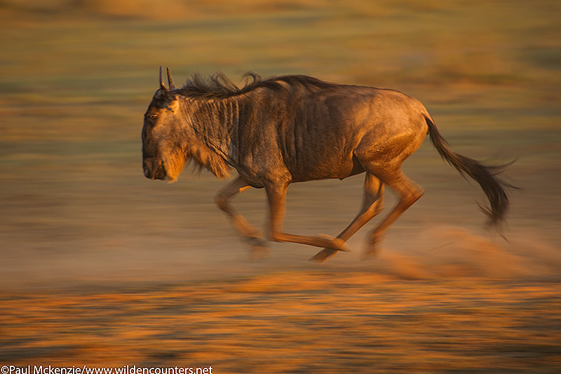 4. Wildebesst running, with motion, Masai Mara, Kenya