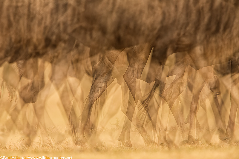 5. Wildebeest legs with motion, mutiple exposure, Masai Mara, Kenya_74A3839 {J}