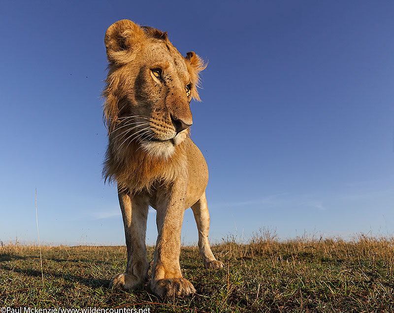 7. Young male Lion, Masai Mara, Kenya