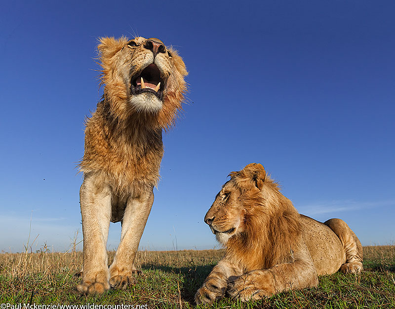 8. Young male Lions, close-focus, wide-angle, Masai Mara, Kenya