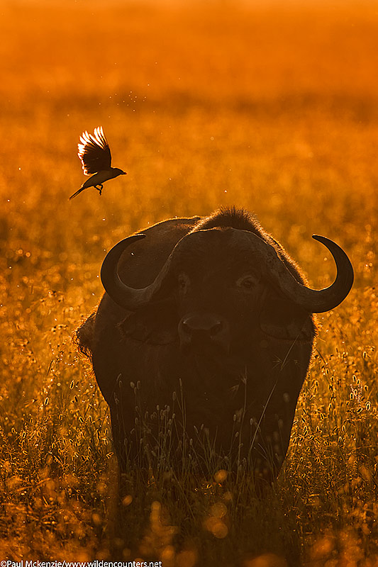 African Buffalo with Oxpecker in flight, backlit in tall grass, Serengeti, Tanzania_P3I0617 {J}