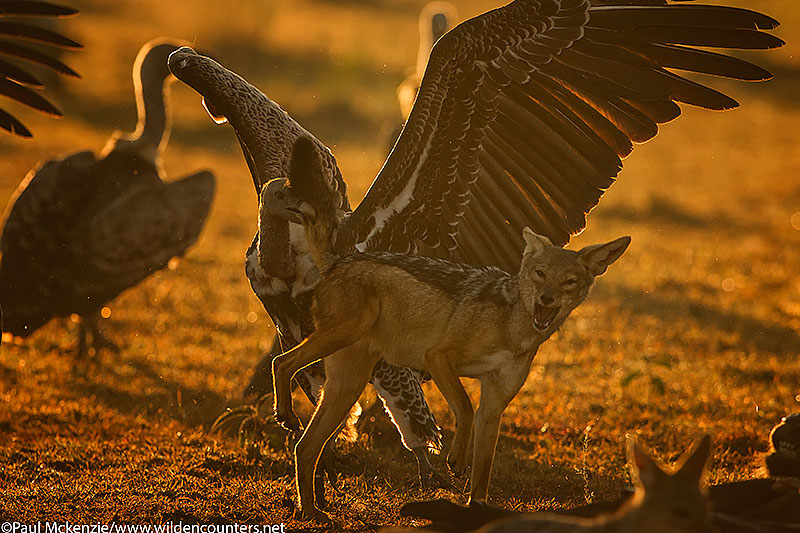 African White-Backed Vulture biting Black-Backed Jackal tail, Masai Mara, Kenya