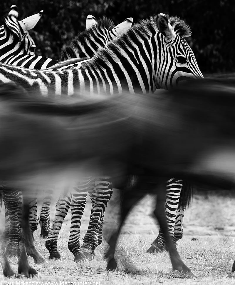 B&W Wildebeest walking, with motion, past Zebras, Masai Mara, Kenya