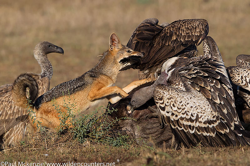 Black Backed Jackal biting African White-Backed Vulture, Masai Mara, Kenya