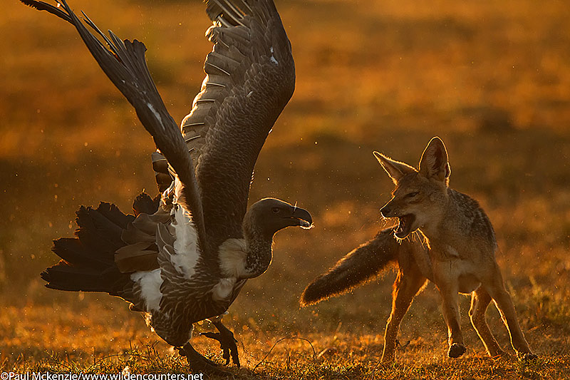 Black-Backed Jackal fighting with African White-Backed Vulture, Masai Mara, Kenya