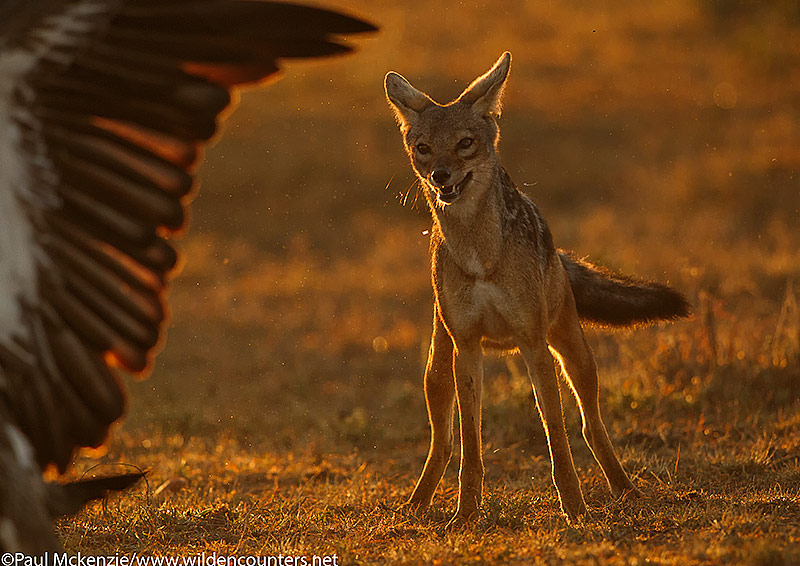 Black Backed Jackal watching fleeing African White-Back Vulture, Masai Mara, Kenya
