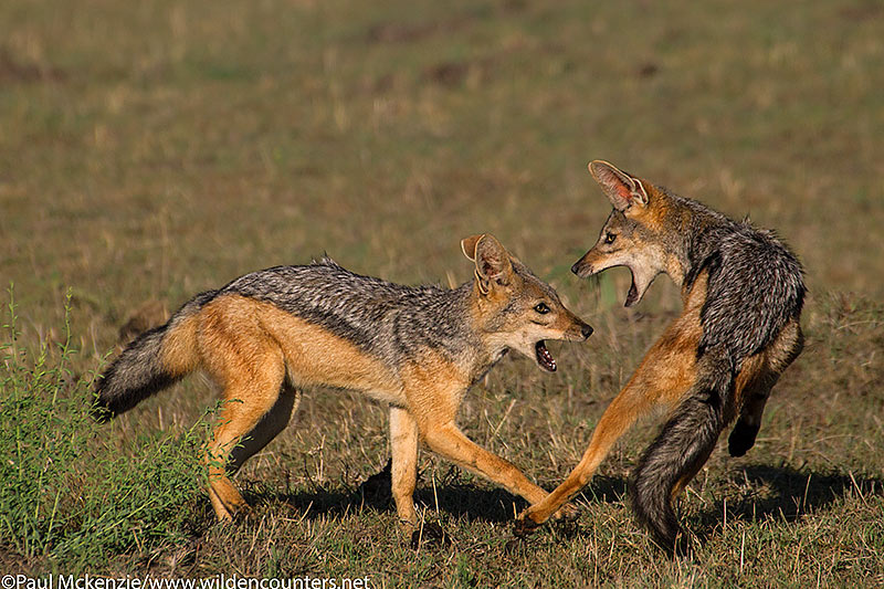 Black-Backed Jackals playing, Masai Mara, Kenya