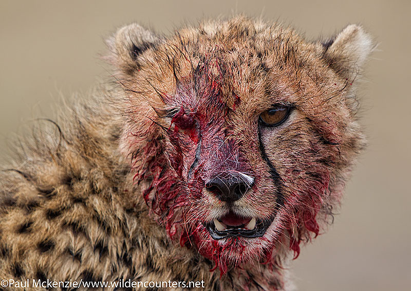 Cheetah cub face covered with blood after feeding on a Thomson's Gazelle kill, Masai Mara, Kenya_P3I2565 {J}