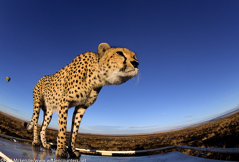 Cheetah standing on vehicle top, fish-eye shot, Masai Mara, Kenya
