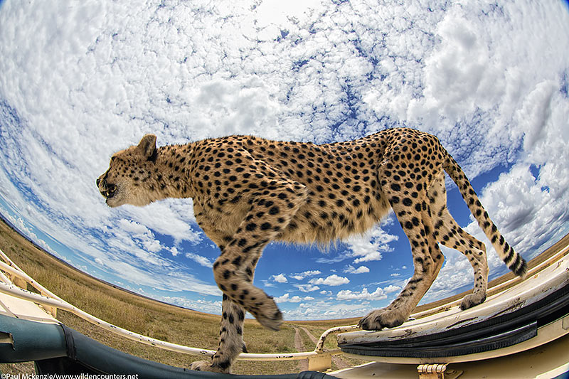Cheetah walking on vehicle, fish=eye shot, Masai Mara, Kenya_74A7798 {J}
