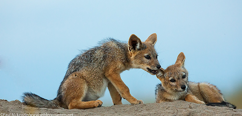 Jackal pups playing on top of their den, Masai Mara, Kenya_74A0866 {J}