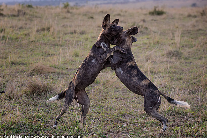 Wild Dogs playing, Masai Mara, Kenya