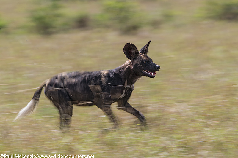 Wild dog running, with motion, Masai Mara, Kenya