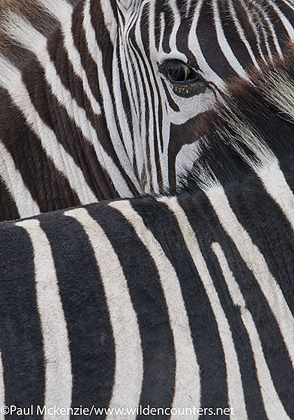 Zebra patterns, abstract, Serengeti, Tanzania_P3I9818 {J}