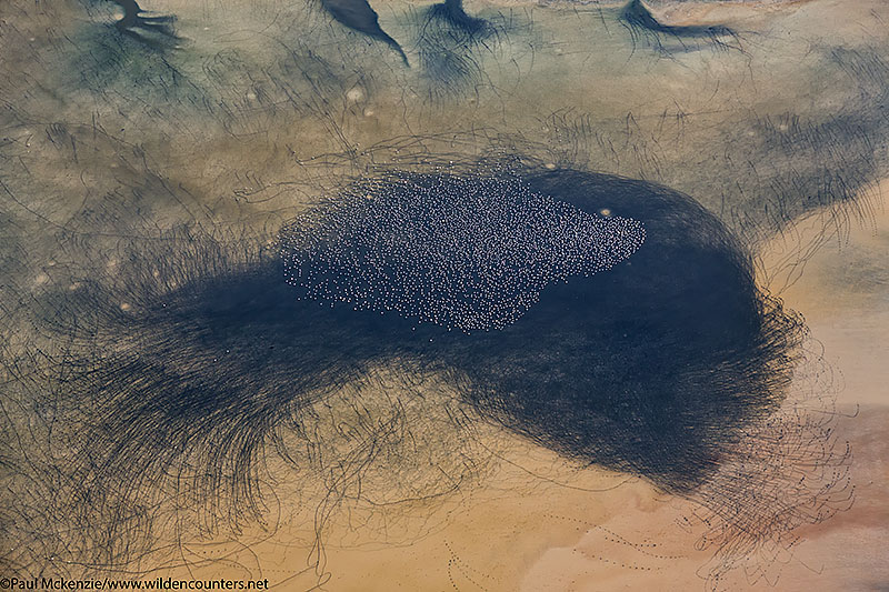 Aerial image of Lesser Flamingos and their trails, Lake Logipi, Kenya_74A1444 {J}