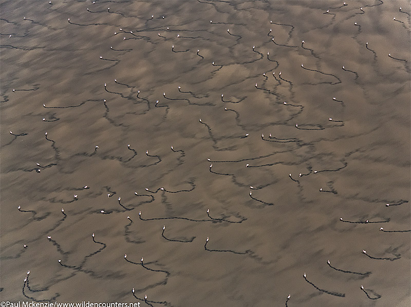 Aerial image of Lesser Flamingos and trails through shallow water soda lake, Lake Natron, Tanzania