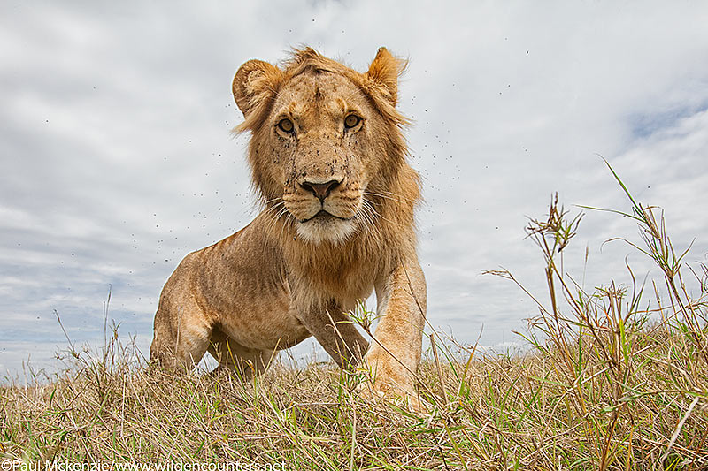 Immature male Lion, close-focus, wide-angle, Masai Mara, Kenya