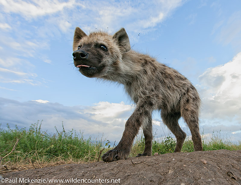 Juvenile Hyena walking, close-focus, wide-angle, Serengeti, Tanzania_MG_7314 {J}